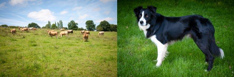 vente directe à la ferme, vente de viande calvados, chien, élevage, border collie, gardien, vaches aubrac, nature, normandie