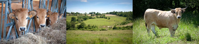 élevage plein air vaches aubrac pays d'auge