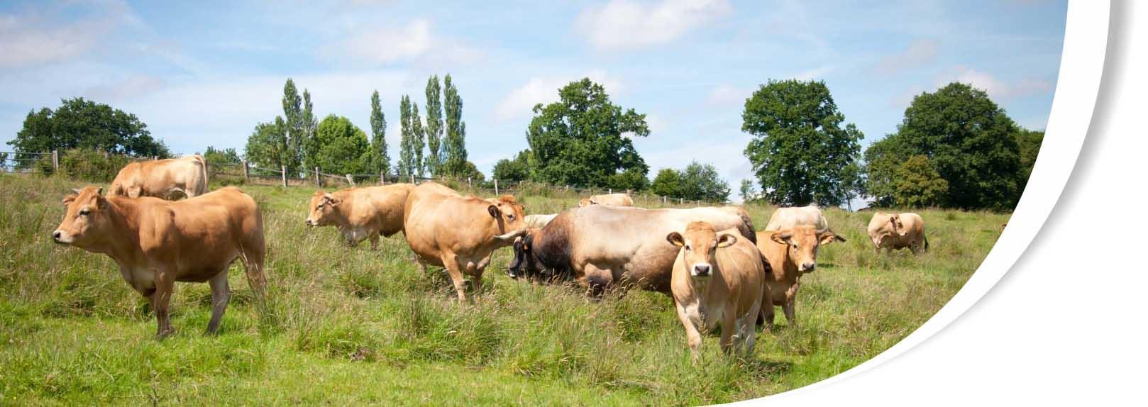 vente directe de viande, élevage traditionnel, vaches aubrac, viande bœuf, calvados, pays d'auge, cormeilles, lisieux, normandie