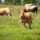 livraison viande aubrac bio